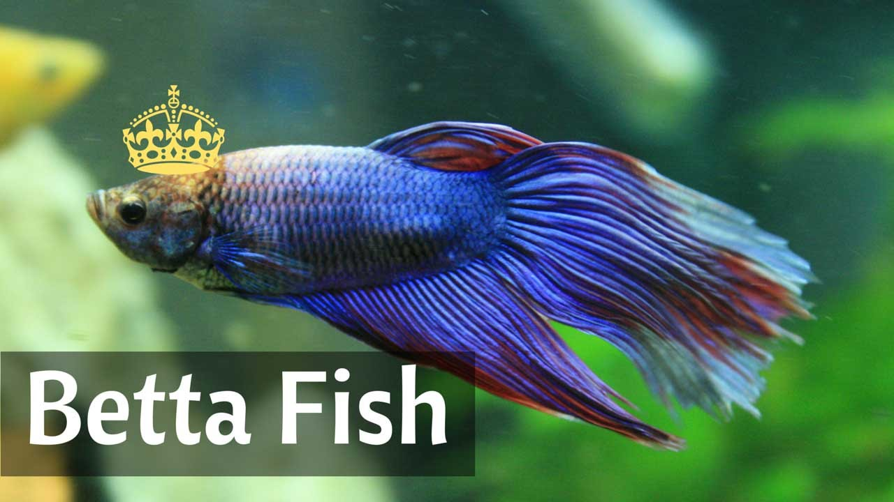Siamese fighting fish betta in freshwater tank youtube for Why do betta fish fight