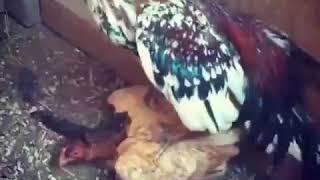 Видео трахает курицу сообщение