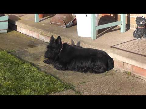 Life of Molly the Scottish Terrier: Part 31 (HD)