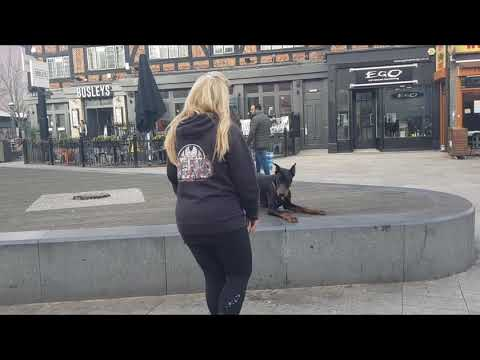 9 month old doberman, Romeo! Dog Training in London