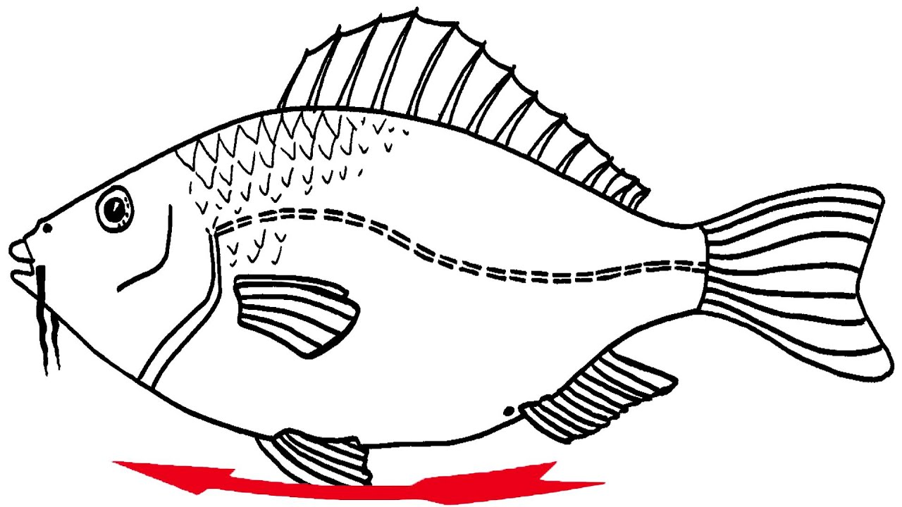 Anleitung zum Fische-Sezieren - YouTube