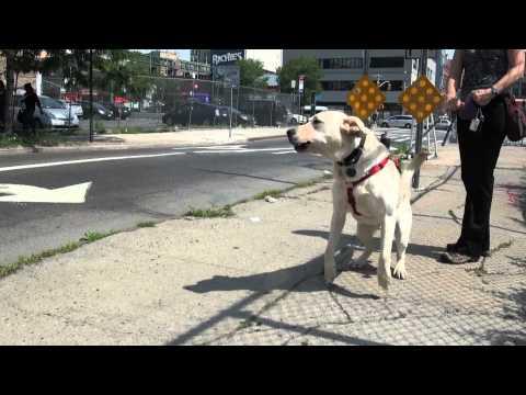 Labrador Dog Training - Dream Come True K9 - Part 1