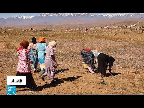 المغربيات يساهمن بقوة في إنتاج الزعفران  - 11:55-2018 / 11 / 8