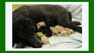 Standard Poodle Giving Birth 2015 | Warning- Graphic