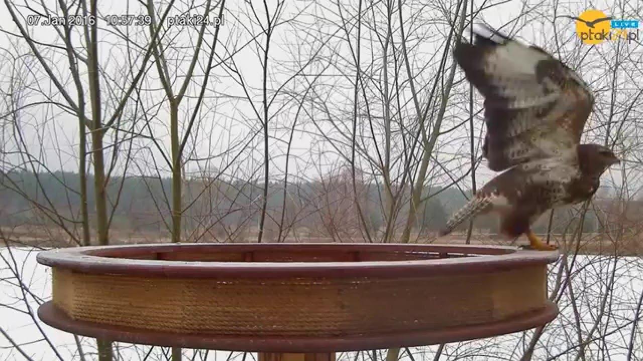 Czyszczenie pazurków i odlot Myszołowa z karmnika dla ptaków drapieżnych w lesie na Podkarpaciu