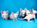 Top 10 Rarest Cat   Domesticated Cat Breeds の動画、YouTube動画。