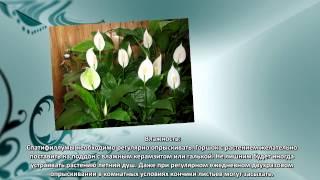 видео Спатифиллум и его виды — описание растений ( цветы, листья ), сорта.