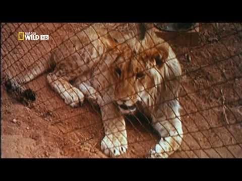 Дружба со львом смотреть онлайн бесплатно — хорошее