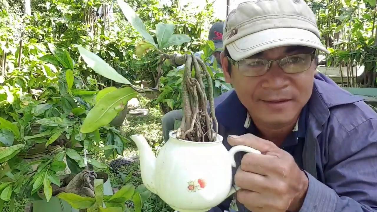 Tạo dáng cho cây mai siêu mini /styling super mini bonsai tree