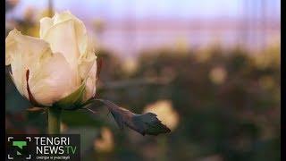 Как выращивают голландские розы в Казахстане