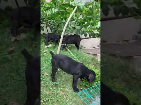 cane-corso-puppy-for-sale-in-delhi,-hyderabad,-pune,-mumbai,-chennai,-best-price-india-//-9555944924