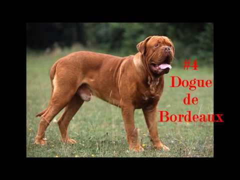 5 biggest dog in the world