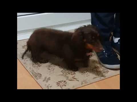 Dixie the Dachshund Wipes Her Wet Feet || ViralHog