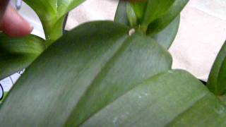 Flowers: ORCHID CARE: DENDROBIUM  puts out new flower spikes!