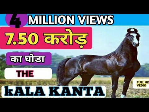 7. 50 Crore ka KALA KANTA Marwari GHORA ( STALLION )  Behbal Stud Farm     मारवाड़ी घोड़ा   PART-1