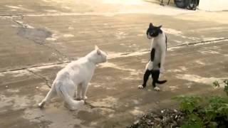 Briga de Gato Muito Loca (Original),(Oficial).