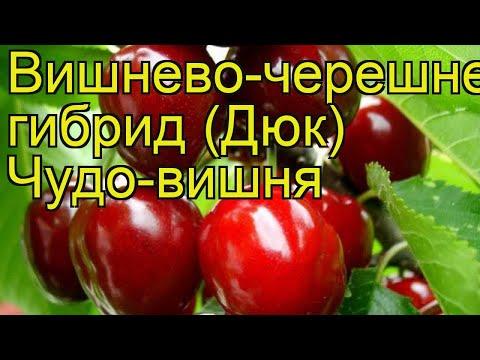 Вишнево-черешневый гибрид Чудо-вишня. Краткий обзор, описание характеристик, где купить саженцы