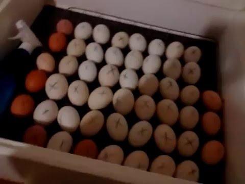 Инкубация утиных яиц (нюансы)