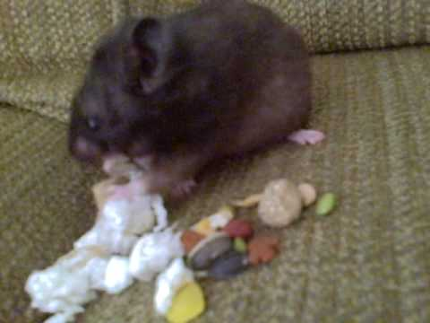 Hamster Spitting Out Food