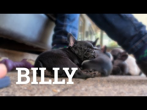 BILLY The Goodest of Boys - Our French Bulldog Puppy x IDIDWHATNOW x S02E30