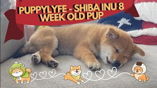 Shiba Inu Puppy at 8 Weeks Old (Crying, Adjusting to New Environment, Puppy Life)
