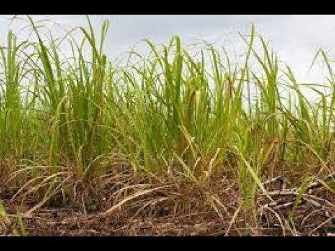Root borer in sugarcane crop-Flower cultivation.