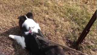 Horgan Dog Harness: The Amazing No Pull Back Leg Harness That Works!