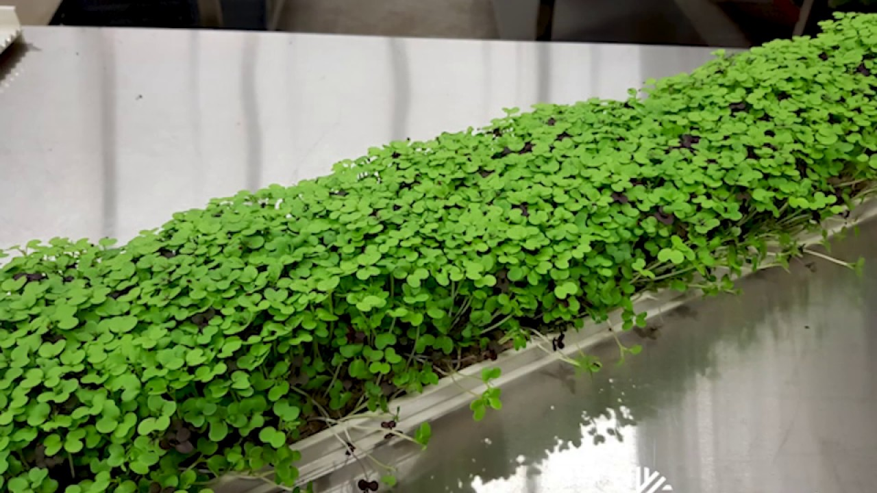 Growing Microgreens - new soilless system!