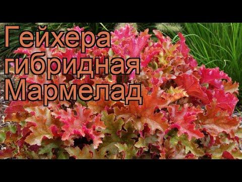 Гейхера гибридная Мармелад (heuchera marmalade) 🌿 обзор: как сажать, рассада гейхеры Мармелад