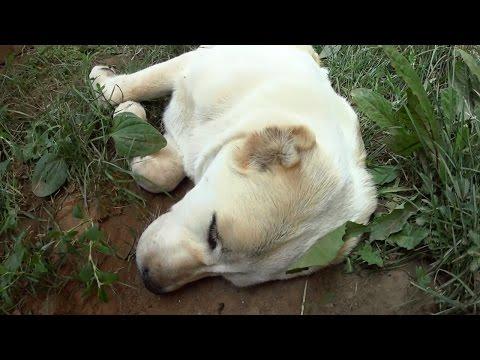 Как выходят глисты у собаки
