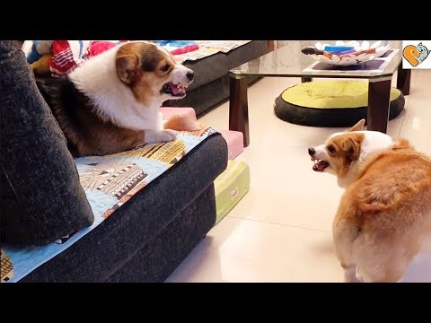 Sibling Rivalry Of Chubby Corgi Dogs Reloaded
