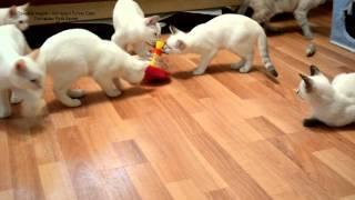 Как тайские котята знакомились с юлой! Улёт! Тайские кошки - это чудо! Funny Cats