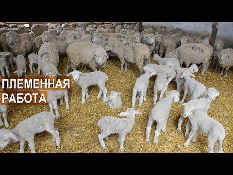 СЕЛЕКЦИОННО-ПЛЕМЕННАЯ РАБОТА с овцами волгоградской породы. СПК Племзавод Ромашковский