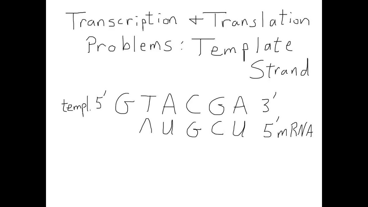 what is the template strand - transcription and translation for a template strand youtube