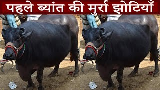 पहले ब्यांत की मुर्रा झोटियाँ I Tour of Kurali Mandi Punjab I Murrah Haryana I मुर्रा हरियाणा