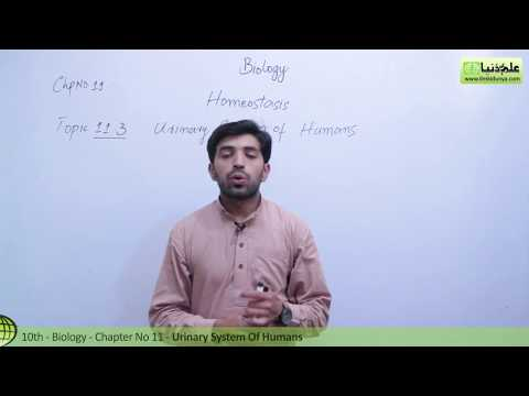 Urinary System of Humans - Biology Chapter 11 Homeostasis - 10th Class