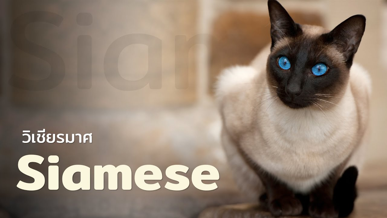 5 เรื่องรู้หรือไม่ ของแมวไทย \