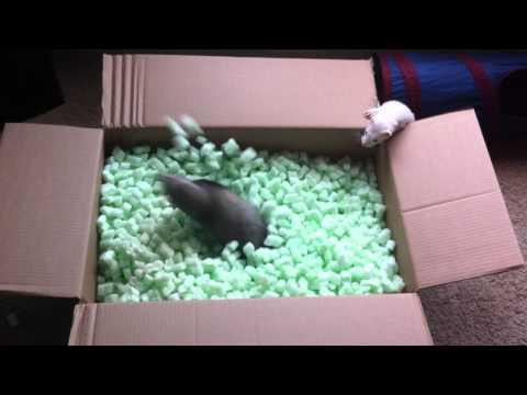 Ferrets playing in packing peanuts