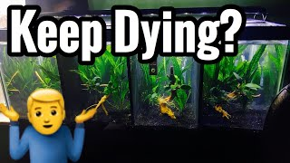 Guppies Keep Dying? Sick Guppy Fish