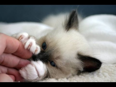 Birman Cat Are Awesome - Cute Birman Cats Videos Compilation
