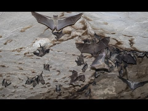 Egyptian Fruit Bats - Cyprus