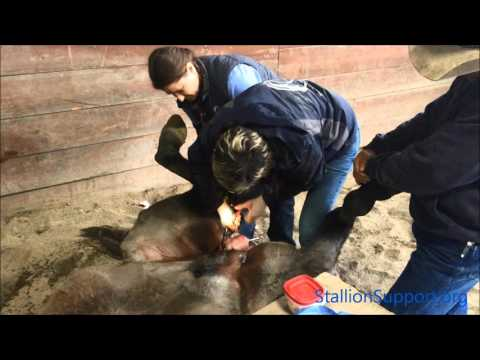 Gelding Clinic: Castrating a horse with the Henderson
