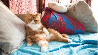 Экзоты, Уход и Содержание, Породы кошек