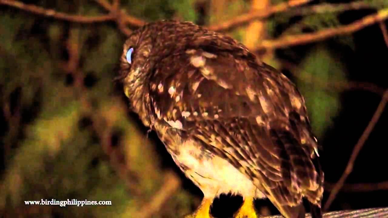 Philippine Hawk-Owl - YouTube