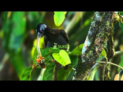 Suara Burung Surga Cenderawasih Paruh sabit paruh putih pale billed sicklebill Drepanornis bruijnii