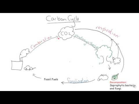 AQA A level Biology Carbon Cycle