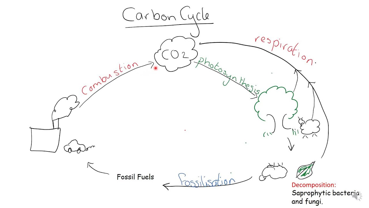 aqa a level biology carbon cycle [ 1280 x 720 Pixel ]
