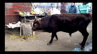 зарезали бычка годовалого на мясо процесс снятия шкуры и разделка туши, бык взбесился перед смертью)