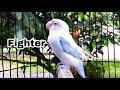 Sekali Mendengar Suara Lovebird Fighter Ini Lovebird Diam Langsung Nyaut Bunyi  Mp3 - Mp4 Download