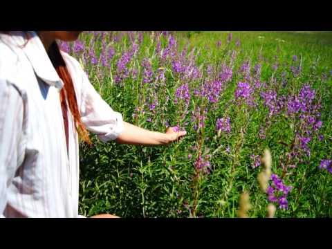 Заготовка цветов иван-чая